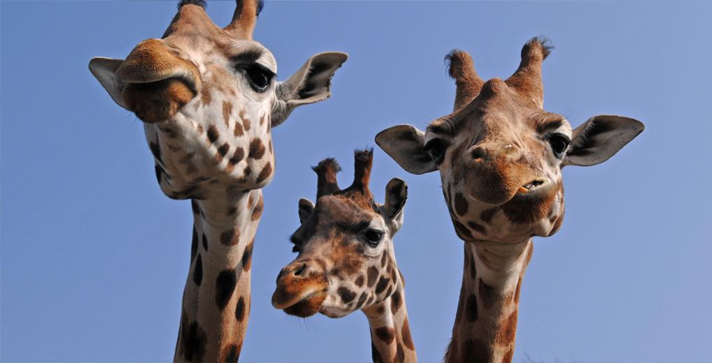 Cheeky Giraffes at Longleat Safari Park