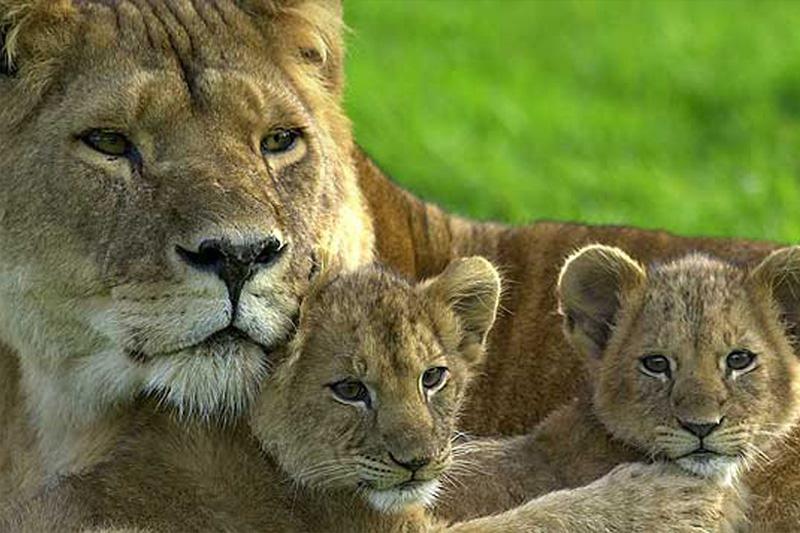 Longleat Lions